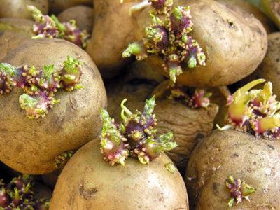 Настойка из ростков картофеля для суставов - приготовление применение меры безопасности отзывы