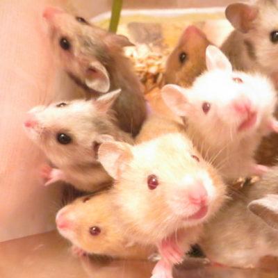 Можно ли крысам цветную капусту