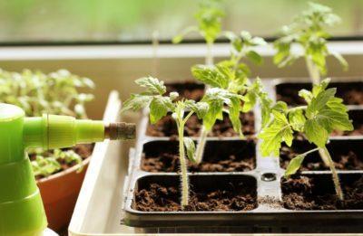 Подкормка рассады томатов и перца нашатырным спиртом: плюсы и минусы удобрения для выращивания помидор и других овощей в огороде