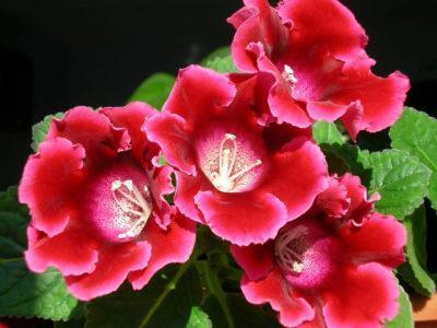 Как выглядят семена глоксинии — Все цветы