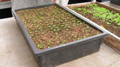 Способы размножения бегонии. Подробное руководство, как вырастить цветок из семян в домашних условиях