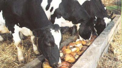 Кормовая свекла для коров