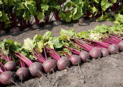 Свекла детройт: описание и характеристика сорта, выращивание в открытом грунте