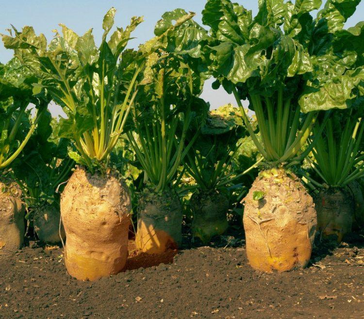 Сорта свеклы – определяем лучшие для посева весной и под зиму видео
