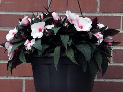 Причины отсутствия цветения у мокрого ваньки бальзамина