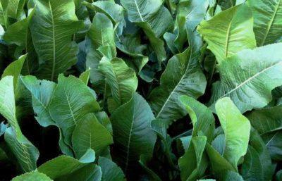 Полезные свойства листьев хрена