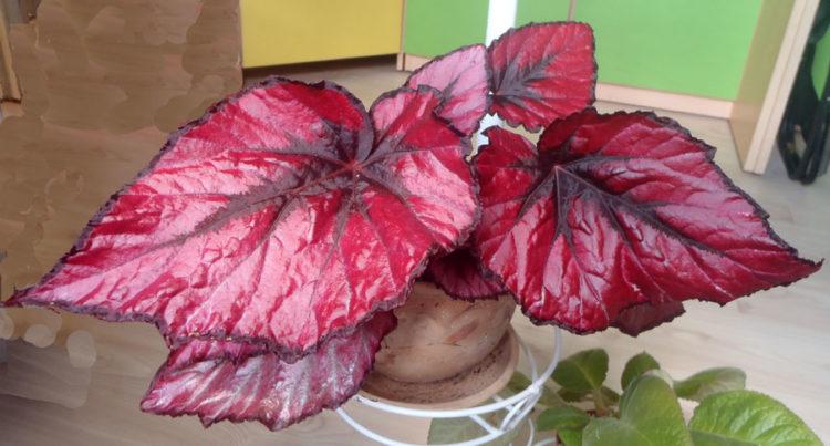 Бегония красная - краснолистная: бегония с красными листьями