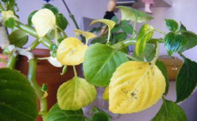 Почему цветок ванька мокрый сбрасывает цветы