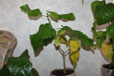 Желтые пятна на листьях гибискуса