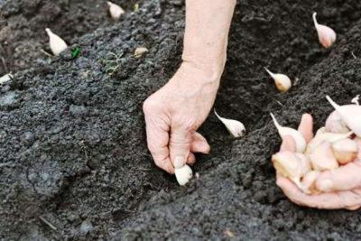 Когда можно посадить озимый чеснок