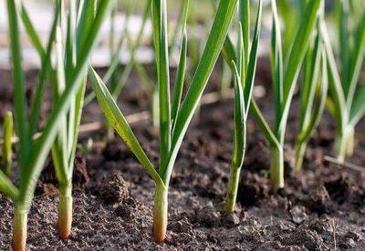 После каких овощных культур можно сажать чеснок