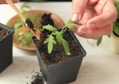 Основные тонкости проведения подкормок для помидоров в теплице: когда, как правильно и какие удобрения вносить?
