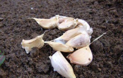 Посадка чеснока под зиму: когда сажать, схема и на какую глубину