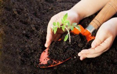 Состав земли для рассады томатов
