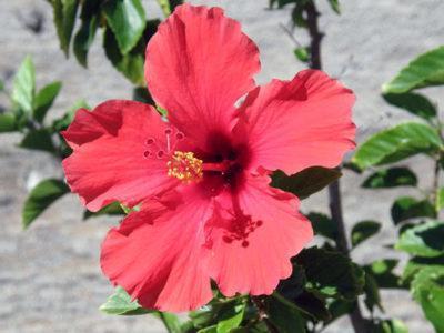 Роза китайская энжел вингс выращивание из семян
