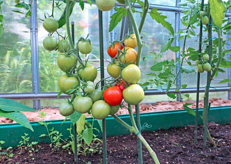 Дела тепличные выращивание томатов
