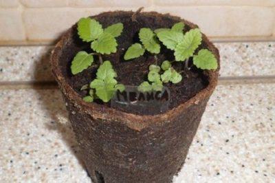 Особенности выращивания вместе мяты и мелиссы дома и в огороде. Можно ли посадить рядом и где лучше?