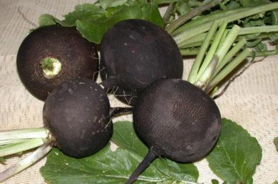 Сроки посадки черной редьки в открытый грунт