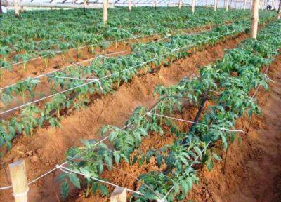 Схема посадки томатов в открытом грунте