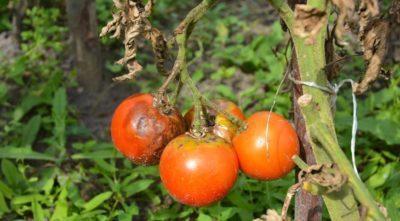 Как вырастить помидоры в квартире на подоконнике