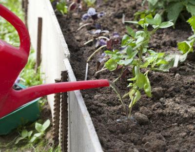 Посев базилика в открытый грунт весной — когда можно сеять семена? Как вырастить базилик на подоконнике: выращивание из семян, фото, уход.