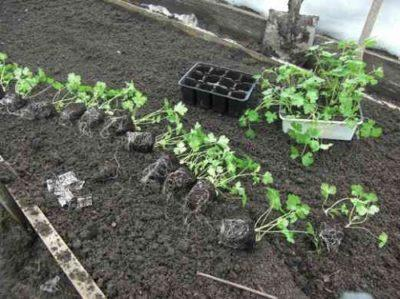 Как сажать корневую петрушку семенами