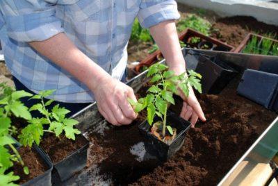 Посев семян томатов в открытый грунт