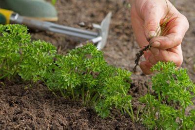 Посадка петрушки в открытый грунт семенами выращивание и уход видео