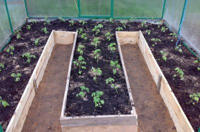 Высадка рассады помидоров в открытый грунт: как и когда правильно сажать, посев семенами, фото, видео