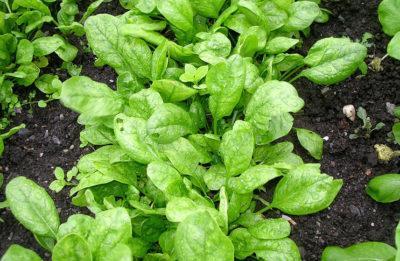 Шпинат: что это такое - овощ или трава, к какому семейству относится, как выглядят листья огородного на фото, является ли многолетним или однолетним растением?