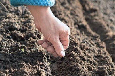 Чем подкормить укроп? Что делать, если плохо растет зелень и чем удобрять после всходов, подкормка растений в открытом грунте