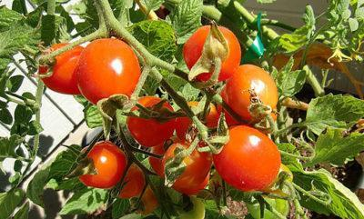 Как правильно выращивать помидоры в открытом грунте