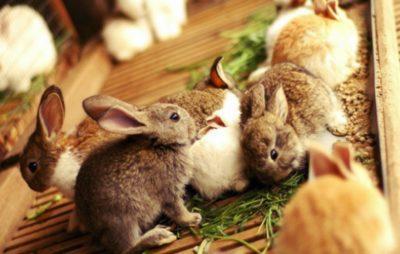 Можно ли кроликам щавель обычный