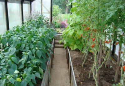 Посадка перца и помидор в одной теплице