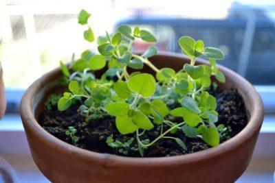 Душица (фото) - посадка и уход, польза растения