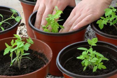 Как выращивать рассаду в парниках