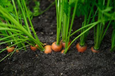 Морковь посадка и уход в открытом грунте на ленте